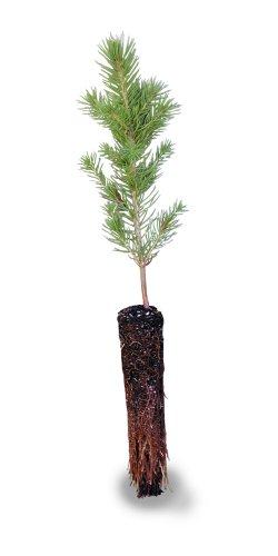 Colorado Blue Spruce Small