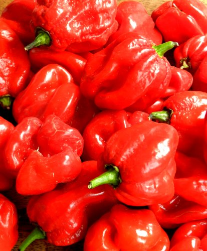 SeedsDirect's Trinidad Moruga Scorpion Hot Pepper Seeds - 30 Pack - Certified Organic Non - GMO