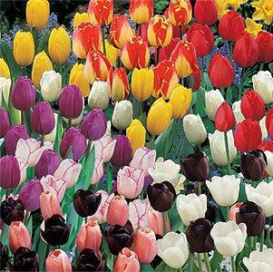 Tulips Galore Assortment of 240 Bulbs