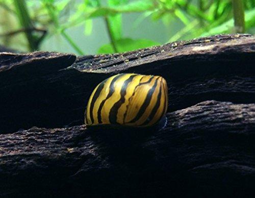 1 Zebra Nerite Snail (Neritina natalensis - 1/2 to 1 inch in diameter) + Aquatic Arts Brand Food Sample